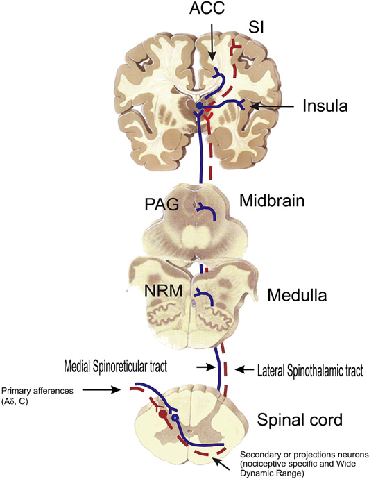 The physiology of pain mechanisms: from the periphery to the brain ...