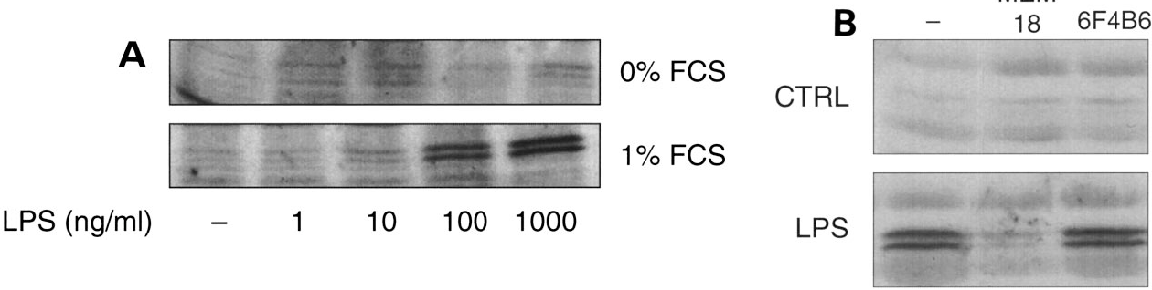 Figure 4. Assessment of the involvement of the CD14 antigen in LPS-induced COX-2 protein expression in neutrophils. A) Effect of serum on induction by LPS of COX-2. Neutrophils were incubated for 1 h with increasing concentrations of LPS in the absence or presence of 1% FCS, and samples were processed for determination of COX-2 expression by immunoblotting. B) Effect of an anti-CD14 monoclonal antibody on COX-2 induction by LPS. Neutrophils were incubated for 1 h with 1 mg/ml LPS alone or in combination with a monoclonal anti-CD14 blocking antibody (MEM18) or a matched-type monoclonal antibody (IgG1; 6F4B6) and processed for immunoblotting. Immunoblots representative of three separate experiments are shown.