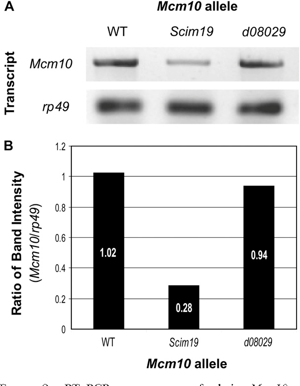 Figure 2.—RT–PCR measurement of relative Mcm10 transcript levels in the two Mcm10 alleles. (A) Visualization of transcript levels in the respective genotypes with rp49 loading control. (B) Bar graph of transcript levels as a ratio of rp49 control show that transcription of Mcm10 is significantly lower in the Mcm10Scim19 background.