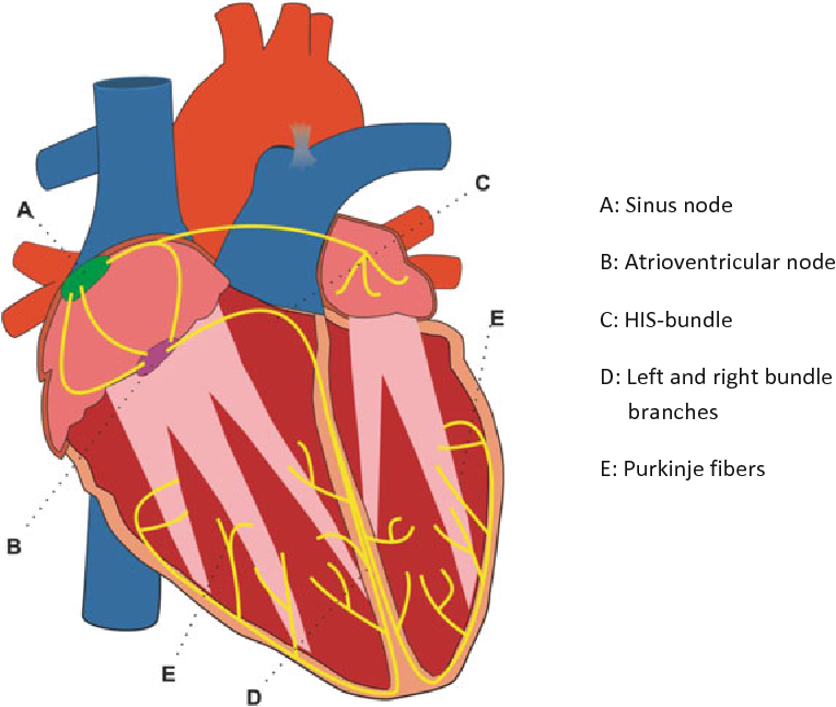 Figure 2 from specific cell re programming approaches and 2 major components of the cardiac conduction system in mammals shown in green ccuart Images