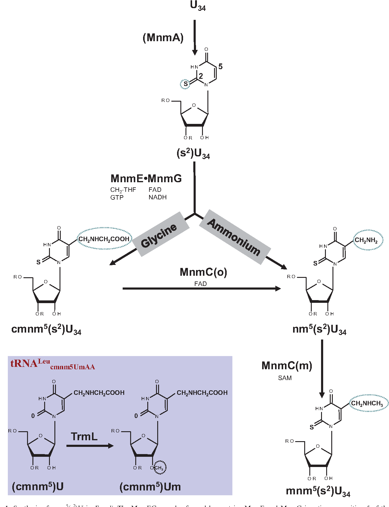 Figure 1. Synthesis of mnm5(s2)U in E. coli. The MnmEG complex formed by proteins MnmE and MnmG is active on position 5 of the wobble uridine (U34) in tRNALysmnm5s2UUU, tRNA Glu mnm5s2UUC, tRNA Gln cmnm5s2UUG, tRNA Leu cmnm5UmAA, tRNA Arg mnm5UCU and tRNA Gly mnm5UCC. MnmE is a three-domain protein that binds GTP and methylenetetrahydrofolate (CH2-THF), whereas MnmG is a FAD- and NADH-binding protein. The MnmC(o) activity of the bi-functional enzyme MnmC transforms cmnm5(s2)U to nm5(s2)U and the MnmC(m) activity of MnmC transforms nm5(s2)U to the final product mnm5(s2)U. Thiolation at position 2 of the wobble uridine (U34) in tRNALysmnm5s2UUU, tRNA Glu mnm5s2UUC and tRNA Gln cmnm5s2UUG is mediated by the protein MnmA. Modifications occur at the 5- and 2-positions independent of each other. TrmL methylates the 20-OH group of the U-ribose in tRNALeucmnm5UmAA (inset panel).