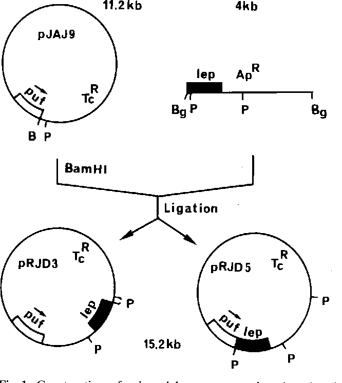 Figure 1 From Expression Study With The Escherichia Coli Lep Gene