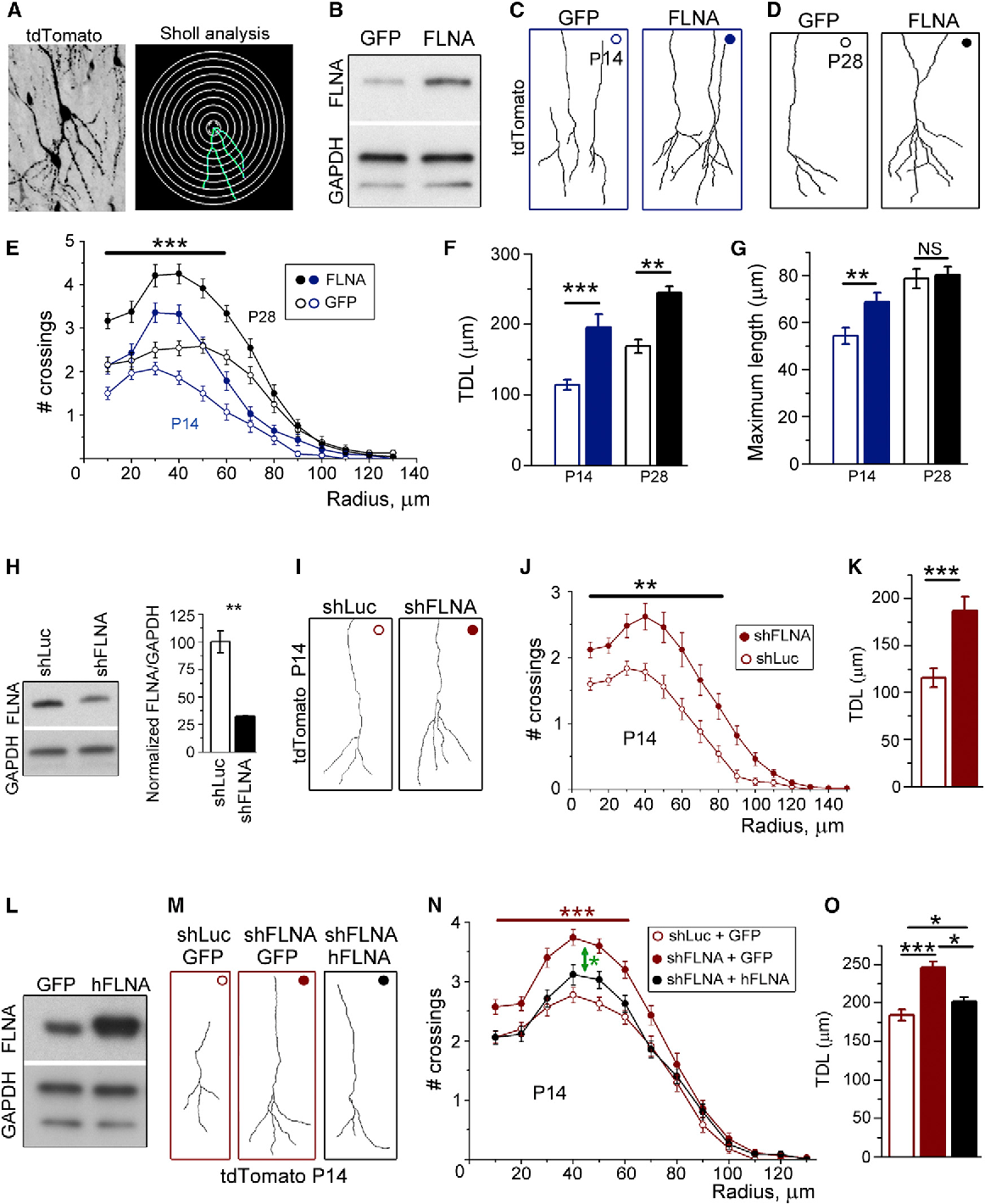 Figure 3. Over- and Underexpression of FLNA Increases Dendritic Complexity of Newborn Neurons