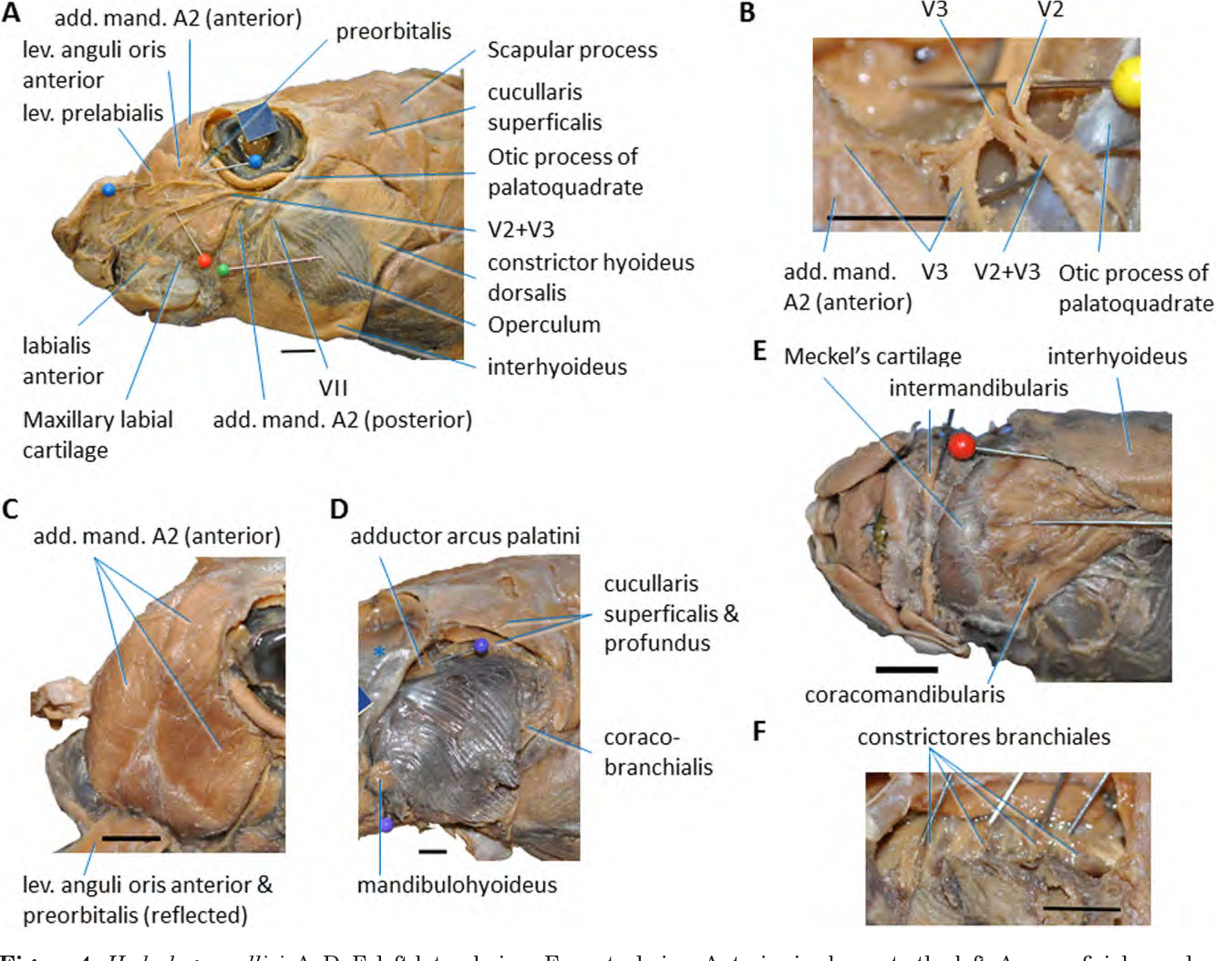 Figure 4 from Cephalic muscles of Cyclostomes ( hagfishes and ...