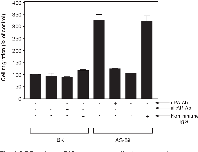 Fig. 4. LRP antisense RNA-expressing cells demonstrate increased migration on vitronectin. Transwell chambers were coated on both surfaces with purified vitronectin. BK and AS-58 cells were allowed to migrate for 12 hours, in the presence (marked '+') or absence (marked '-') of uPA-specific antibody (uPA-Ab), uPAR-specific antibody (uPAR-Ab), or non-immune IgG. Cellular migration is expressed as a percentage of that observed with BK cells in the absence of antibodies.