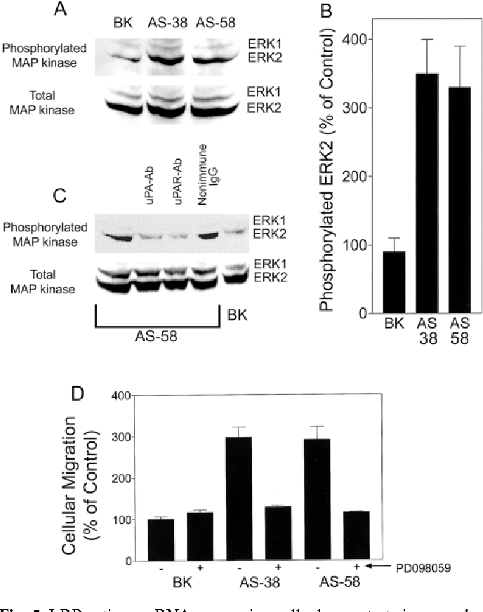 Fig. 5. LRP antisense RNA-expressing cells demonstrate increased levels of activated ERK2. (A) Immunoblot analysis to detect phosphorylated and total ERK1 and ERK2 in BK, AS-38, and AS-58 cells. All cells were maintained in standard serum-supplemented culture medium and extracted when 90% confluent. (B) Levels of phosphorylated ERK2 were standardized to the level detected in HT 1080 cells in individual experiments (n=4). (C) AS-58 cells were cultured in the presence of uPA-specific antibody, uPAR-specific antibody, or non-immune IgG for 12 hours and then extracted to assess ERK phosphorylation. AS-58 and BK cells which were cultured in the absence of antibody are shown as a control. (D) BK, AS-38, and AS-58 cells were allowed to migrate through vitronectincoated Transwell membranes for 12 hours in serum-free medium. The MEK inhibitor, PD098059, was added to the top chamber as indicated by '+'. Cellular migration was standardized to that observed with BK cells which were not treated with drug.