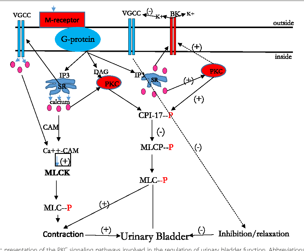 Regulation Of Urinary Bladder Function By Protein Kinase C In