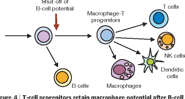 Adult t cell progenitors photo 608