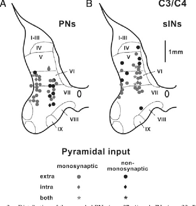 Properties Of Propriospinal Neurons In The C3 C4 Segments Mediating