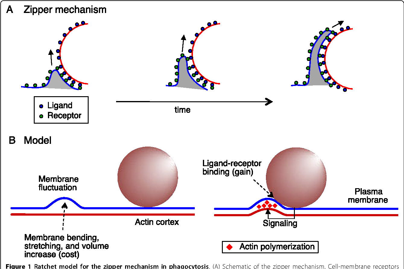 The zipper mechanism in phagocytosis energetic requirements and figure 1 ccuart Gallery