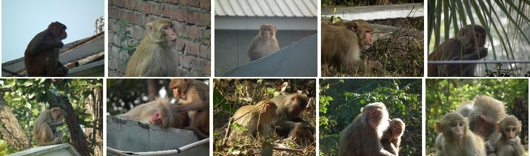 Figure 4 for Unique Identification of Macaques for Population Monitoring and Control