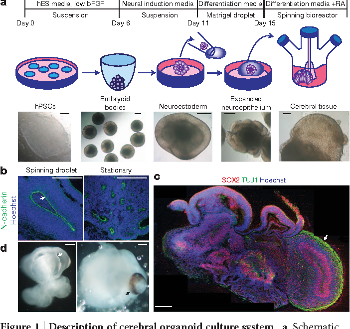 Neurotoxicity Predicted By Organoids >> Figure 1 From Cerebral Organoids Model Human Brain Development And