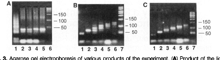 Fig. 3. Agarose gel electrophoresis of various products of the experiment. (A) Product of the ligation reaction (lane I), PCR amplification of the product of the ligation reaction (lanes 2 through 5), and molecular weight marker in base pairs (lane 6). (B) Graduated PCR of the product from Step 3 (lanes 1 through 6); the molecular weight marker is in lane 7. (C) Graduated PCR of the final product of the experiment, revealing the Hamiltonian path (lanes 1 through 6); the molecular weight marker is in lane 7.