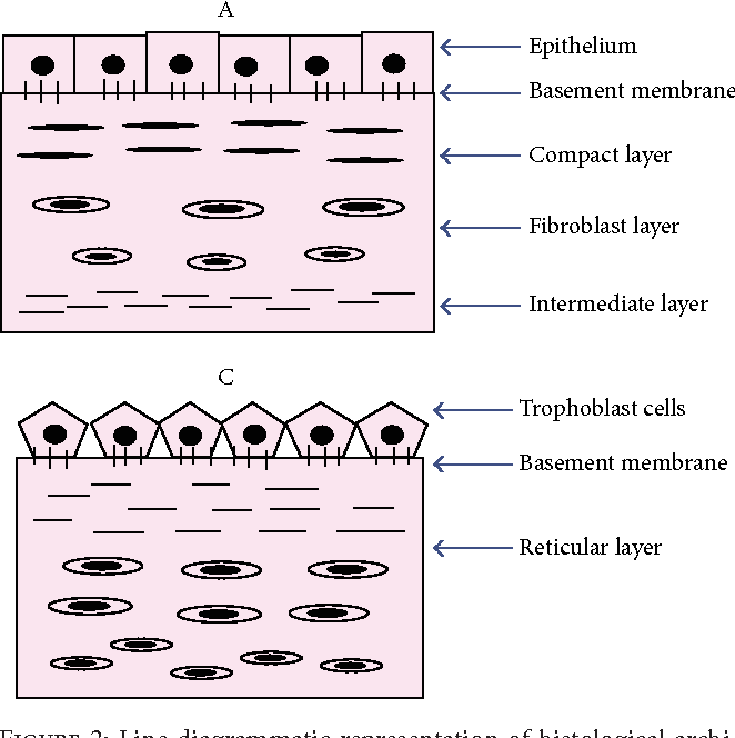 Amnion and Chorion Membranes: Potential Stem Cell Reservoir with ...
