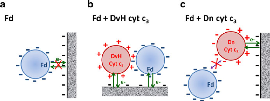 Fig. 5 Model of the ferredoxin (Fd)/cytochrome c3/electrode ternary complex: a Fd alone; b Fd plus Desulfovibrio vulgaris Hildenborough (DvH) cytochrome c3; c Fd plus Desulfovibrio Norway cytochrome c3. (Adapted from [81])