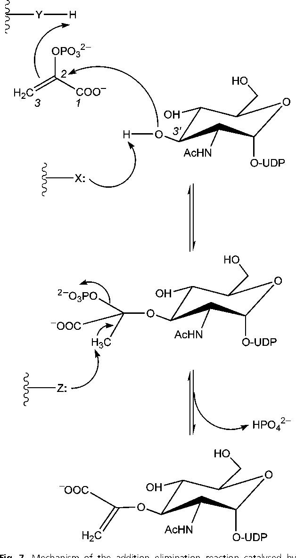 Cytoplasmic Steps Of Peptidoglycan Biosynthesis