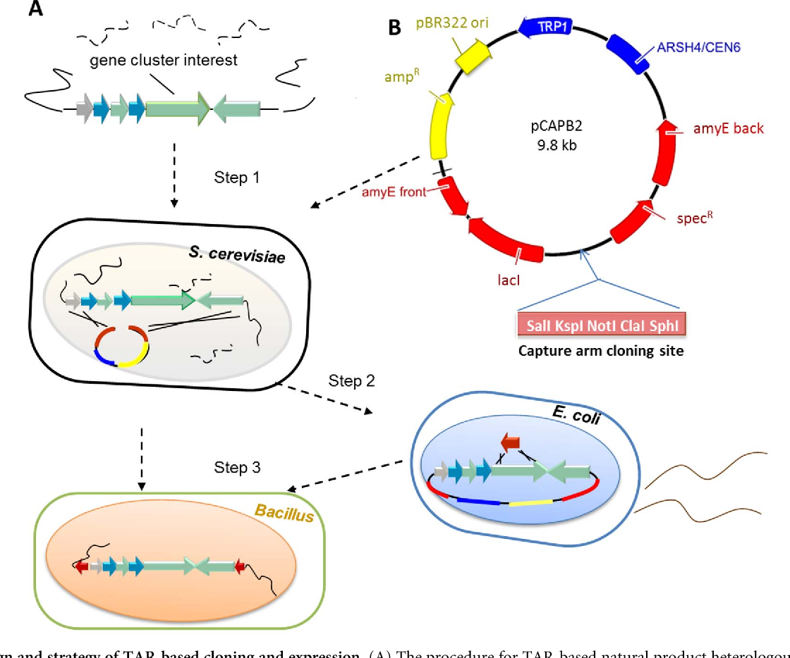 Directed natural product biosynthesis gene cluster capture and figure 2 ccuart Gallery
