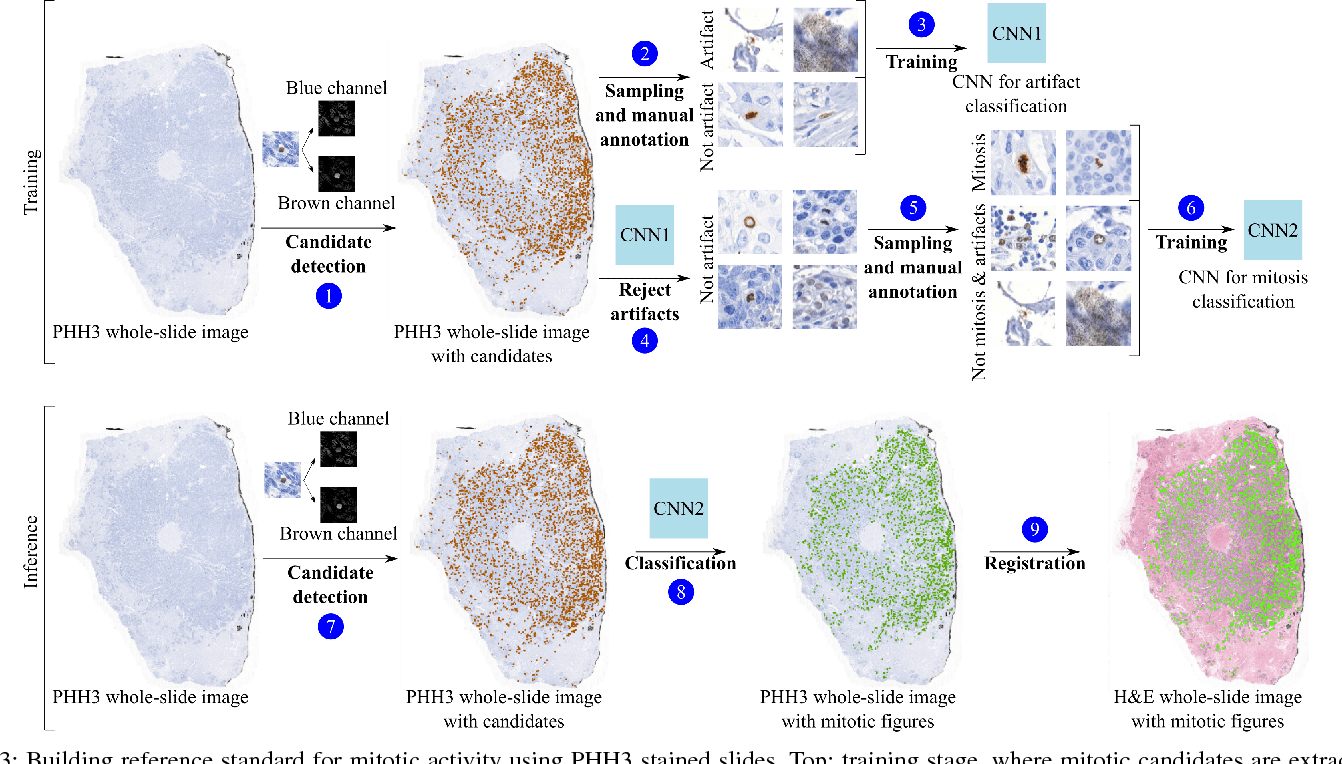 Figure 3 for Whole-Slide Mitosis Detection in H&E Breast Histology Using PHH3 as a Reference to Train Distilled Stain-Invariant Convolutional Networks