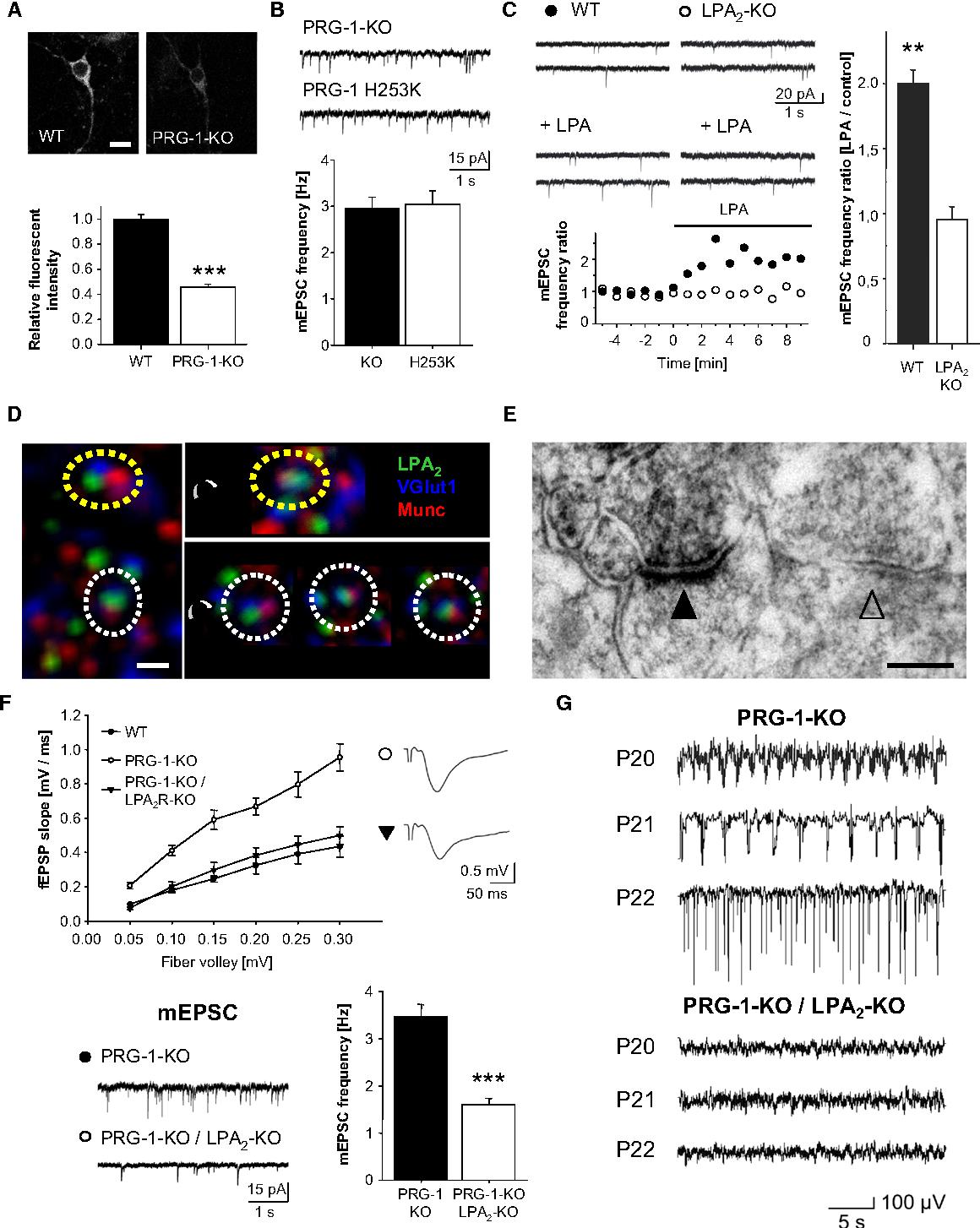 Figure 7. PRG-1 Influences Phospholipid Signaling