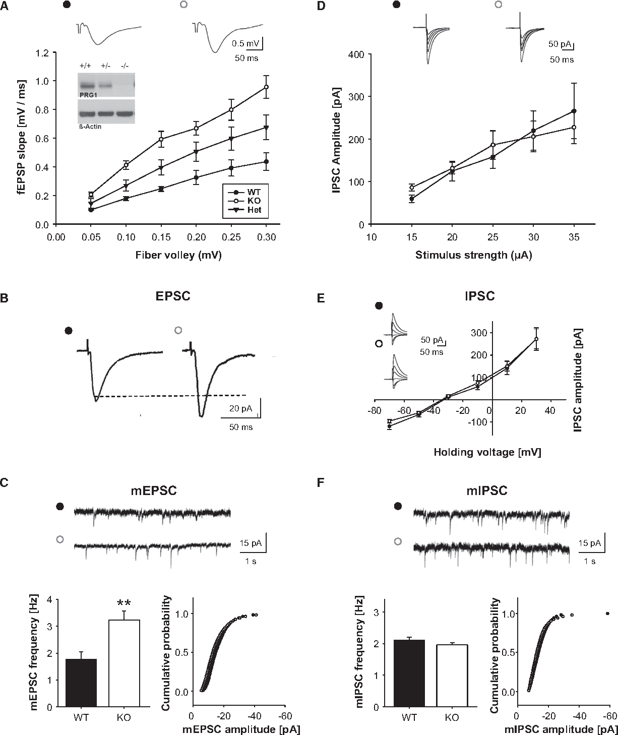 Figure 4. Hyperexcitability in CA1 Neurons in PRG-1 KO Mice