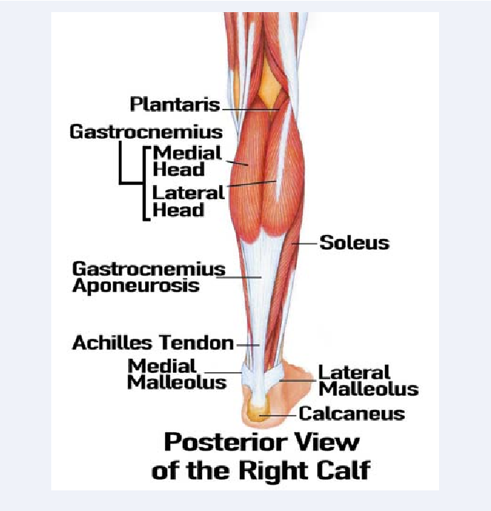 Rupture of the Medial Head of the Gastrocnemius Muscle in Late ...