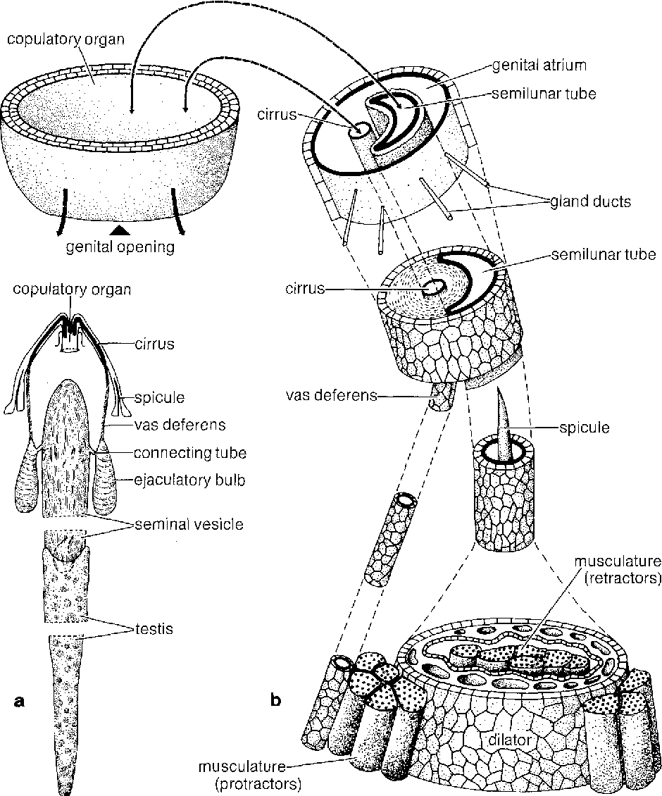 Ultrastructural analysis of the male genital system ofcephalobaena figure 1 pooptronica Images