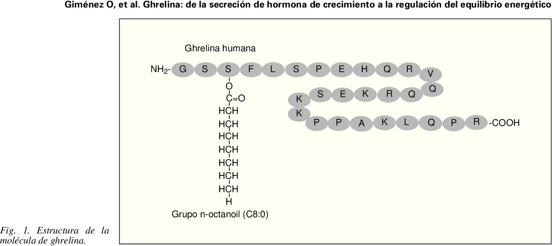 Fig. 1. Estructura de la molécula de ghrelina.
