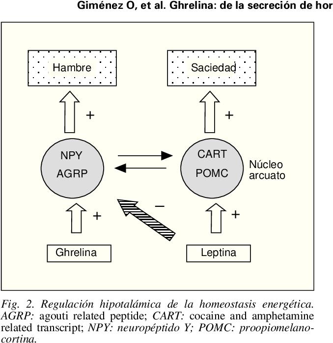 Fig. 2. Regulación hipotalámica de la homeostasis energética. AGRP: agouti related peptide; CART: cocaine and amphetamine related transcript; NPY: neuropéptido Y; POMC: proopiomelanocortina.