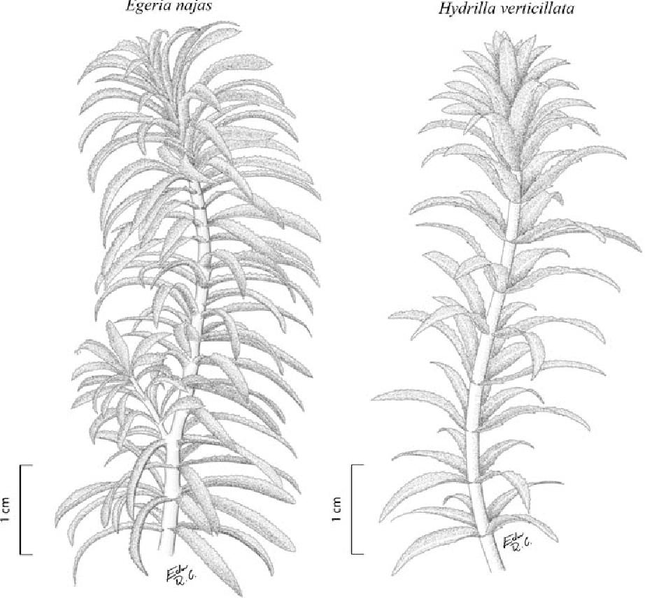 Ostracod crustacea colonization of a native and a non native figure 1 pooptronica