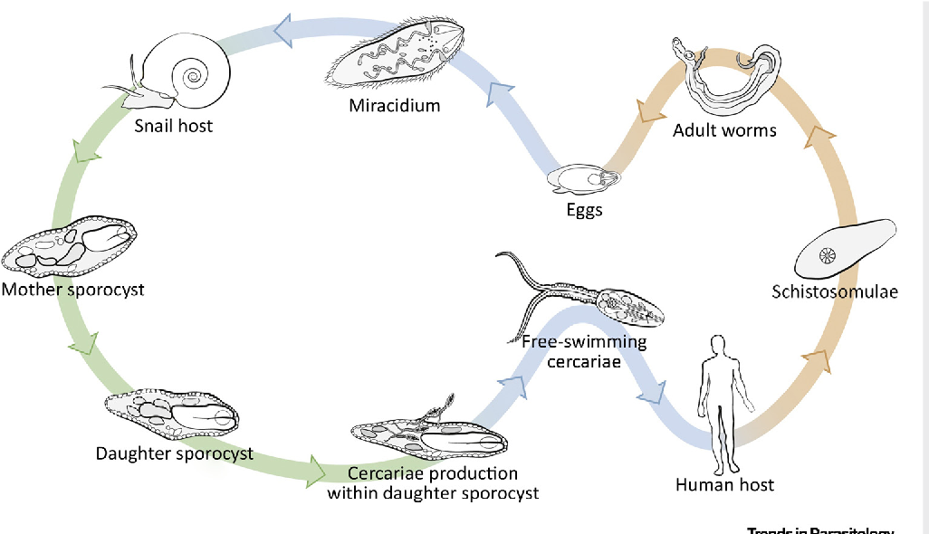 Figure 1 From Schistosomiasis From A Snails Perspective Advances