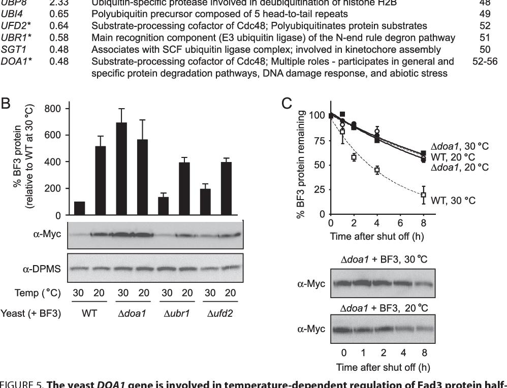 8157bab6 Figure 5 from Temperature-sensitive post-translational regulation of ...