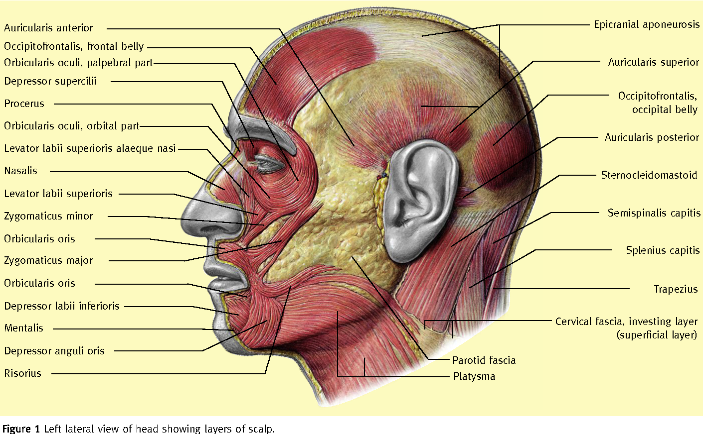 Figure 1 from The surgical anatomy of the scalp. - Semantic Scholar