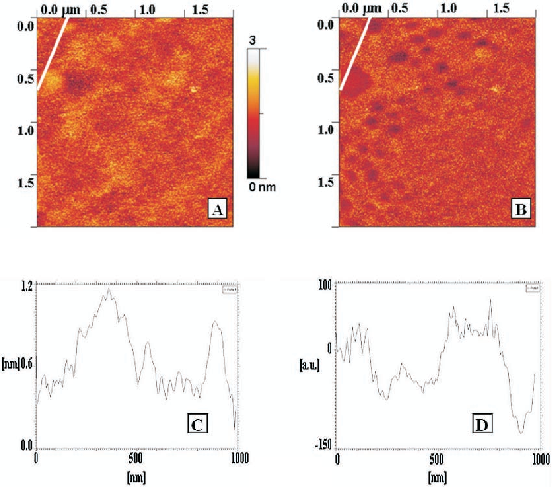 Figure 4. (A) AFM contact mode and (B) friction force topographic images (2 · 2 mm) of 10-undecynoic acid CEG deposited on Si(100) surface with at 12 mC/cm2 cathodic charge density. The surface appears less homogeneous than as in well-covered monolayers. Round, so called 'friction holes' appear in the friction image, matching the higher areas in the contact mode topographic image. The white bar indicates the analysed zone. The corresponding cross section profiles, measured along the bar, are reported below, in (C and D), respectively.