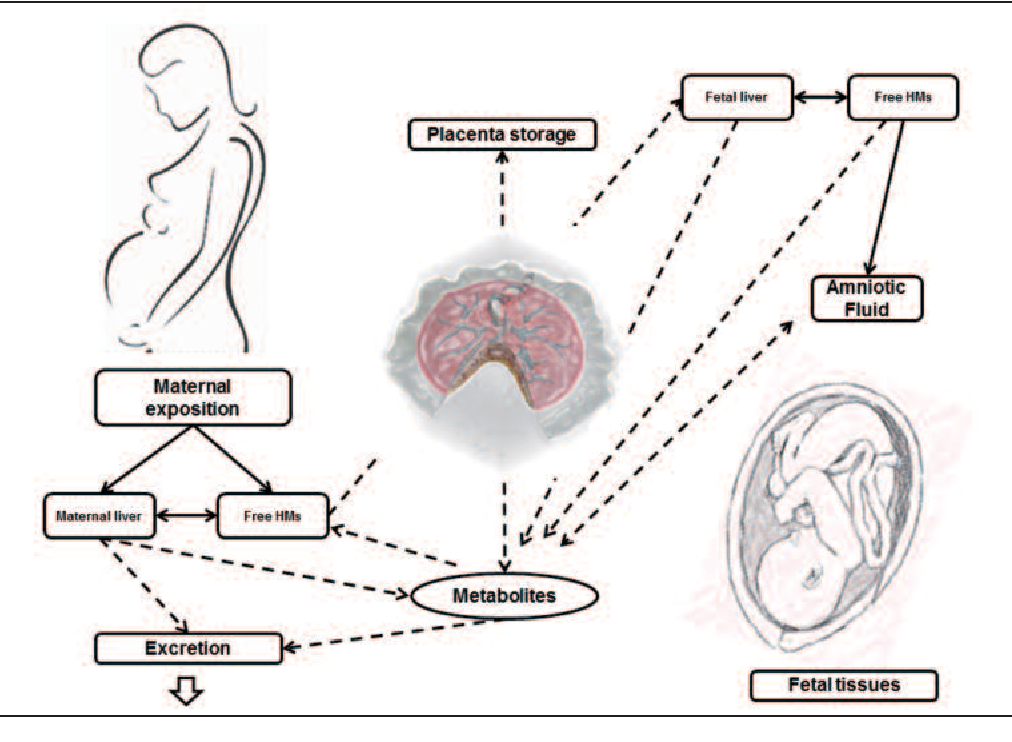 Heavy Metals And Placental Fetal Maternal Barrier A Mini Review On