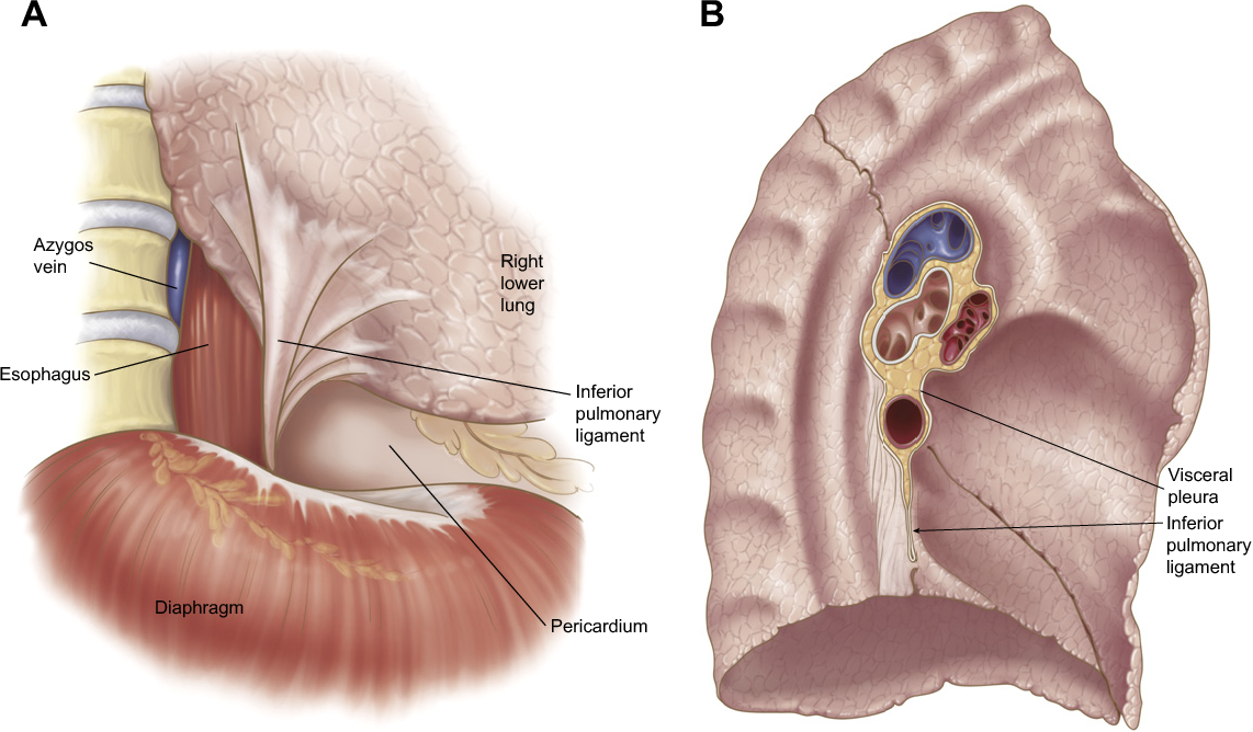 Figure 3 From Anatomy Of The Pleura Semantic Scholar