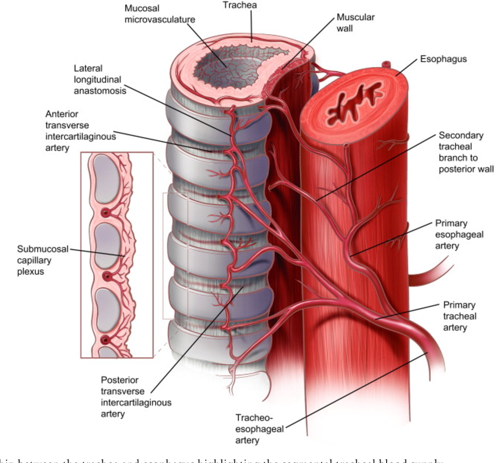 Figure 2 From Surgical Anatomy Of The Trachea Semantic Scholar