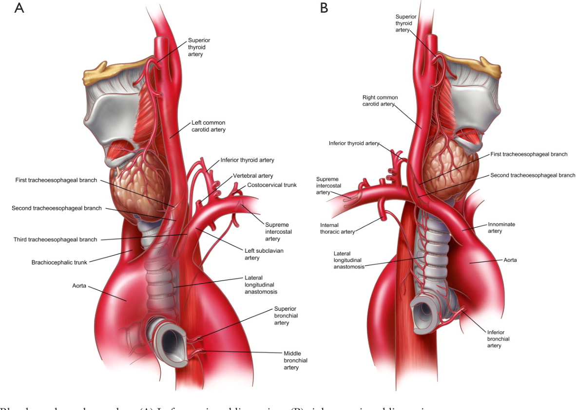 Figure 3 From Surgical Anatomy Of The Trachea Semantic Scholar