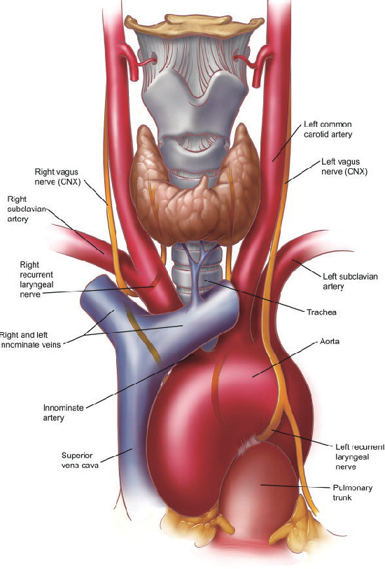 Figure 4 From Surgical Anatomy Of The Trachea Semantic Scholar
