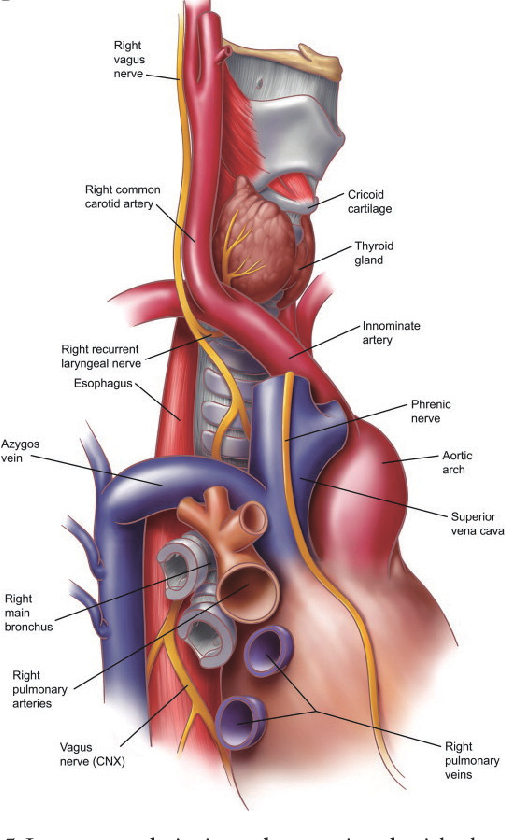 Figure 5 from Surgical anatomy of the trachea. - Semantic Scholar