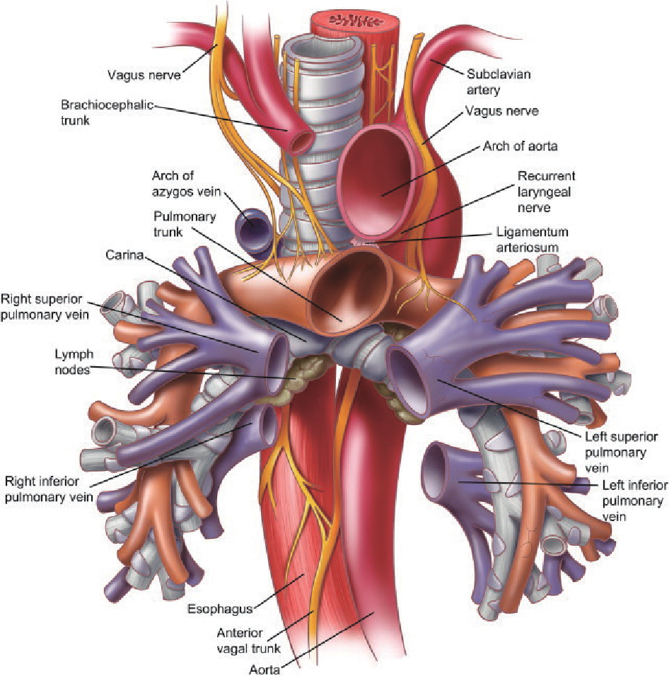 Figure 6 from Surgical anatomy of the trachea. - Semantic Scholar