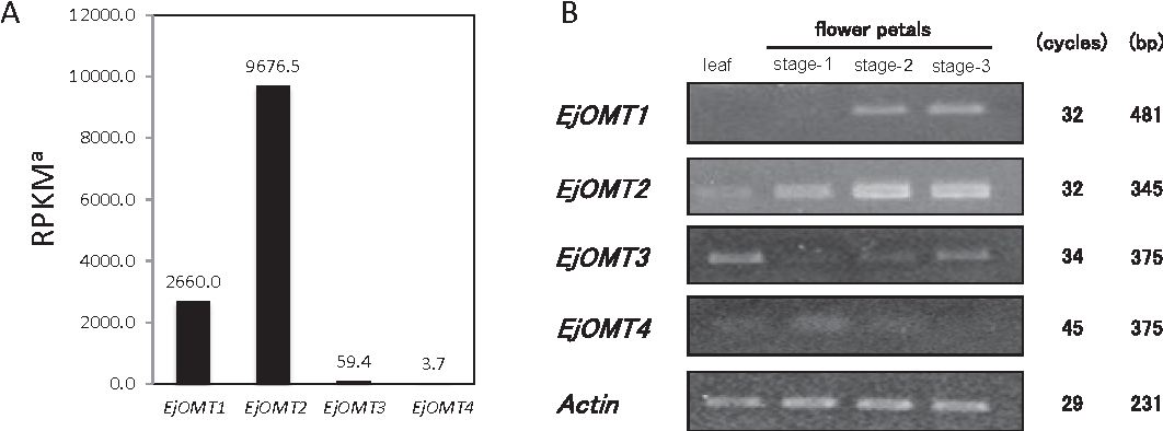 FIG. 3. Gene expression of OMT genes in E. japonica. (A) Expression of OMT genes in E. japonic million mapped reads. (B) Tissue-specific expression of OMT genes examined using semi-q