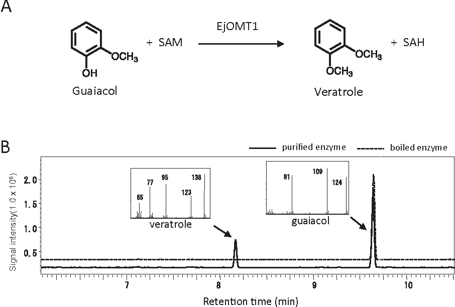 FIG. 5. Conversion of guaiacol to veratrole by the E. japonica OMT1. (A) Enzymatic conversion of guaiacol and S-adenosyl-L-methionine (SAM) to veratrole and S-adenosyl-L-homocysteine (SAH) by EjOMT1. (B) GCeMS analysis of EjOMT1 products.