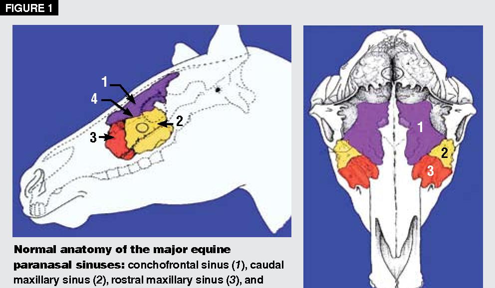 Figure 2 from Paranasal sinus disease in horses. - Semantic Scholar