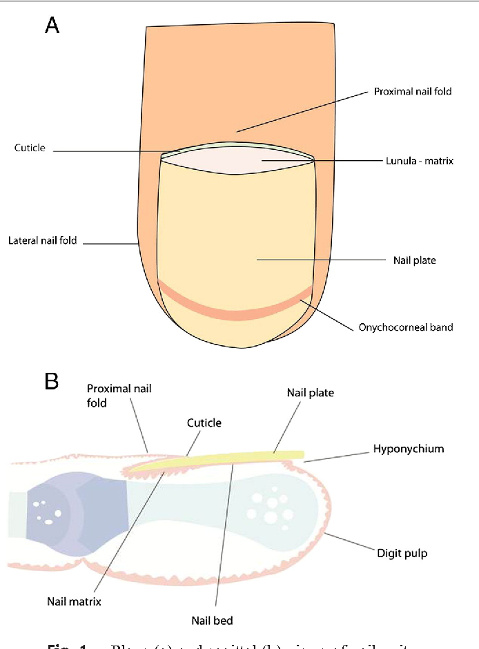 Figure 1 From Nail Anatomy Semantic Scholar