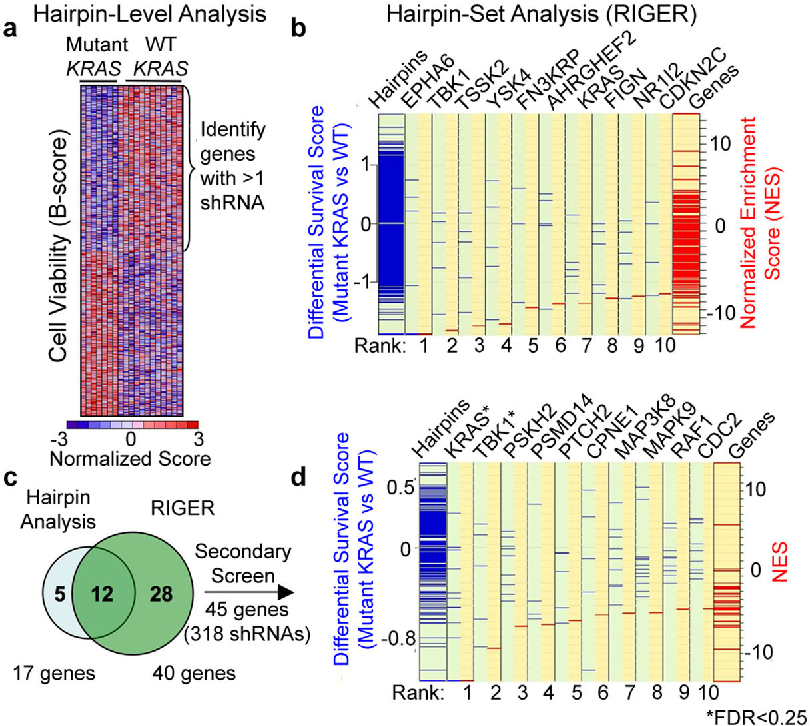 Fig. 1. Meta-analysis of RNAi screens identifying KRAS synthetic lethals. (a) Supervised analysis of viability data (B-score) identified 250 shRNAs that distinguished mutant KRAS from wild-type (WT) cells, including genes targeted by multiple shRNAs. (b) Hairpin set analysis (RIGER). Genes were assigned NES (red lines) based on the KRAS mutant/WT differential survival scores (blue lines) for each shRNA. Negative values represent mutant KRASselectivity. (c) Union of 17 genes identified in (a) and 40 genes identified in (b). (d) Secondary screening data normalized using percent of control (POC) and analyzed using RIGER. FDR for KRAS and TBK1 was 0.04 and 0.18 respectively.