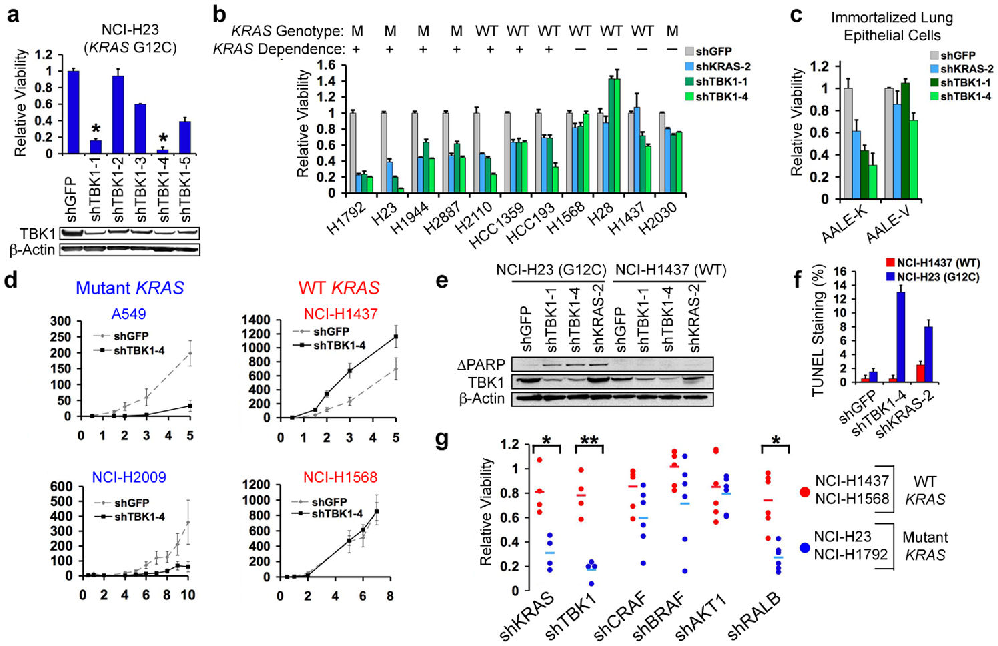 Fig. 2. TBK1 synthetic lethality with oncogenic KRAS. (a) Top-scoring TBK1-specific shRNAs (*) induced lethality and TBK1 suppression (immunoblot) in NCI-H23 cells (mutant KRAS). (b) Suppression of KRAS or TBK1 in NSCLC cell lines. HCC-1359 and HCC-193 cells expressed RAS and NF-κB signatures. (c) KRAS and TBK1 dependence of lung epithelial cells expressing oncogenic KRAS (AALE-K) or vector (AALE-V). (d) Tumor formation following TBK1 suppression. Mean and SEM of at least 11 replicates shown. (e) Immunoblot of cleaved PARP following TBK1 or KRAS suppression. (f) Percentage of TUNEL positive nuclei following TBK1 or KRAS suppression. Mean and SD shown. (g) Differential cell viability following KRAS, TBK1, CRAF, BRAF, AKT1 or RALB suppression in KRAS mutant vs. WT cell lines (t-test for comparisons). SEM of triplicate samples normalized to shGFP control vector shown.