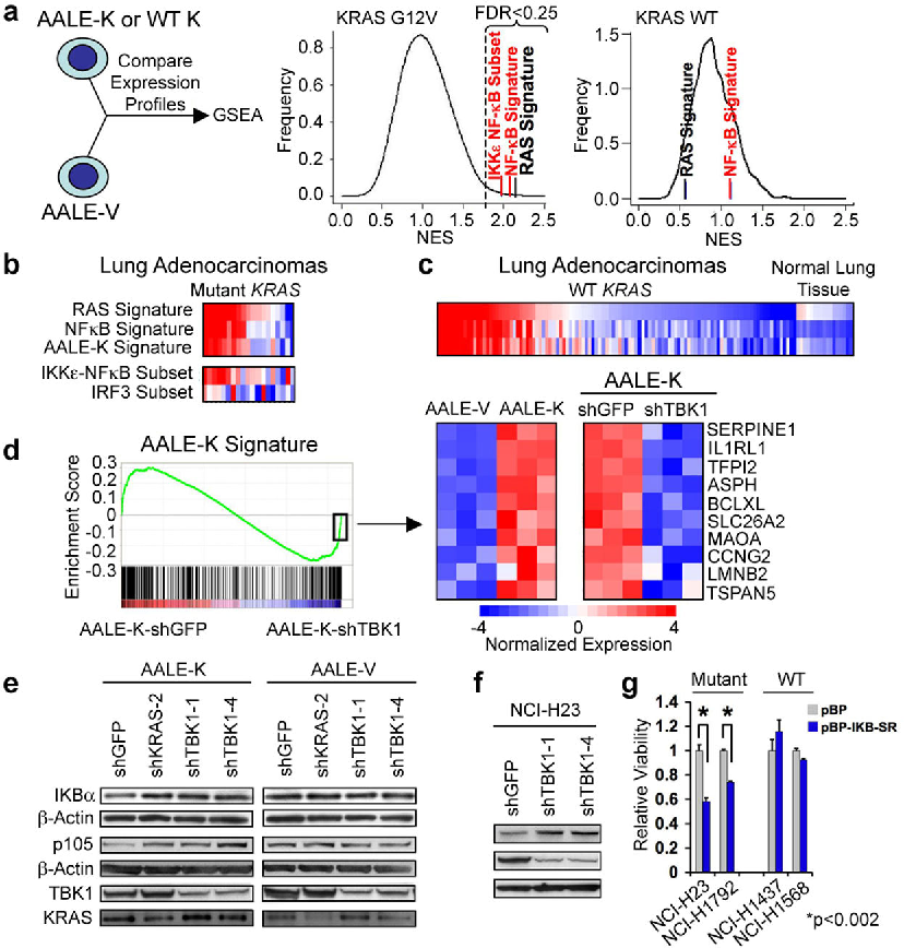 Fig. 3. Oncogenic KRAS-induced NF-κB signaling involves TBK1 (a) GSEA of AALE-V (vector), AALE-K (KRAS G12V) or AALE-WT-K (KRAS WT) cells (positive NES). A RAS oncogenic signature (black) and NF-κB signatures (red) showed significant enrichment (FDR<0.25) in AALE-K cells. N.S. = non-significant. (b) RAS signatures in mutant KRAS lung adenocarcinomas correlate with NF-κB but not IRF3 signatures (red=activation, blue=inactivation). (c) RAS and NF-κB signature expression in WT KRAS lung adenocarcinomas and normal lung tissue. (d) AALE-K signature enrichment plot following shTBK1 or shGFP expression in triplicate samples. Heatmap shows top KRAS-induced genes with negative enrichment in AALE-K-shTBK1 samples. Immunoblot of IKBα, p105, TBK1, and KRAS in AALE-K and AALE-V cells (e) or NCI-H23 cells (f) following KRAS or TBK1 suppression. (g) Cell viability after expression of control vector (pBP) or IκBαsuper-repressor (pBP-IKB-SR) in mutant or WT KRAS cells. Mean and SEM of triplicate samples shown, t-test for comparisons.