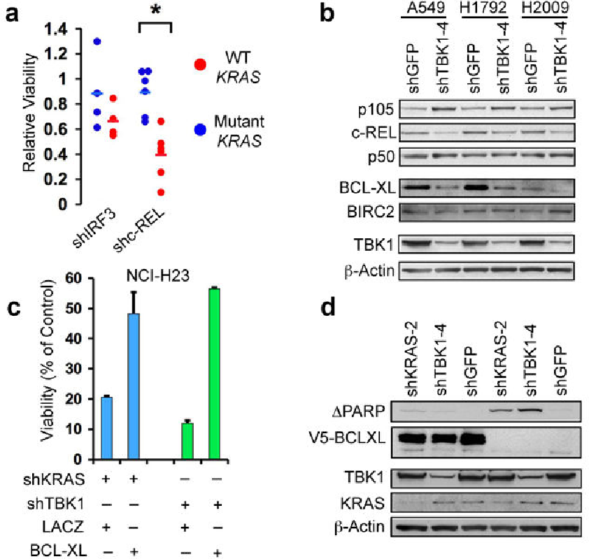 Fig. 4. TBK1 regulates c-REL and BCL-XL in KRAS mutant cells. (a) Differential cell viability following IRF3 or cREL suppression in KRAS mutant vs. WT cell lines. (b) Immunoblot of p105, c-REL, p50, BCL-XL and BIRC2 in KRAS mutant cell lines following TBK1 suppression. (c) Cell viability following KRAS or TBK1 suppression in NCI-H23 cells expressing a control protein (LACZ) or V5-tagged BCL-XL. SEM of triplicate samples normalized to shGFP control vector shown. (d) Immunoblot showing over-expression of V5-tagged BCL-XL and inhibition of PARP cleavage.