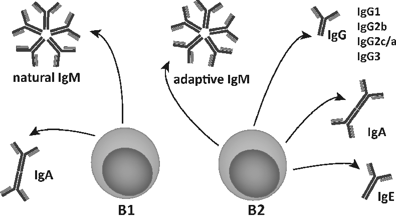 Figure 1. B1 and B2 cells have different immunoglobulin production profiles in mice.