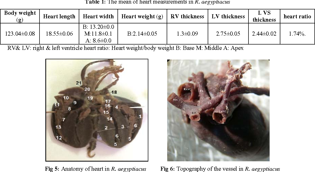Anatomy and histology of the heart in Egyptian fruit bat ( Rossetus ...